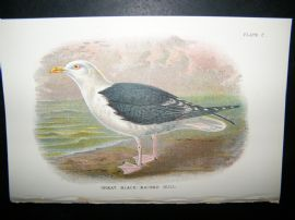 Allen 1890's Antique Bird Print. Great Blacked-Backed Gull